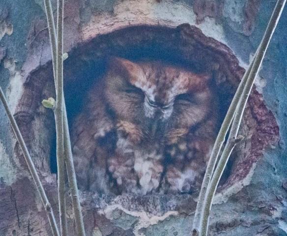 Screech Owl 2021-20