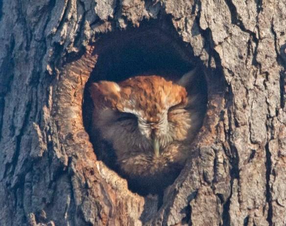 Screech Owl 2021-24