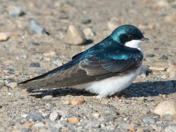 Tree Swallow 2021-12