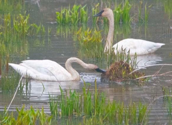 Trumpeter Swan 2021-10