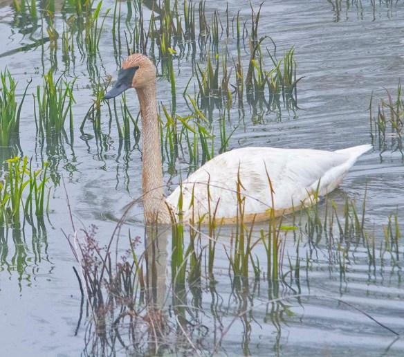 Trumpeter Swan 2021-13