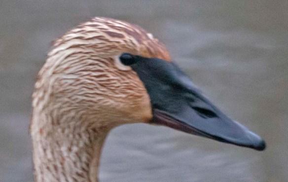 Trumpeter Swan 2021-17