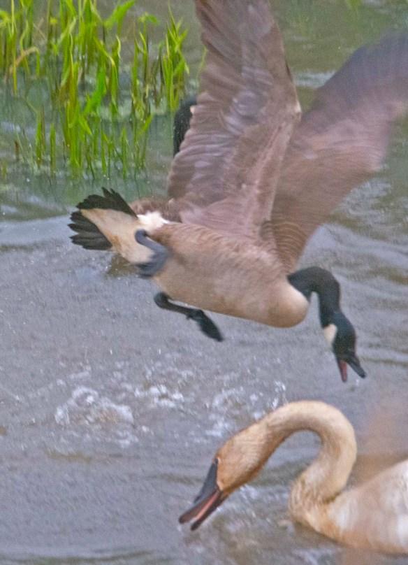 Trumpeter Swan 2021-20