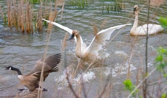 Trumpeter Swan 2021-24