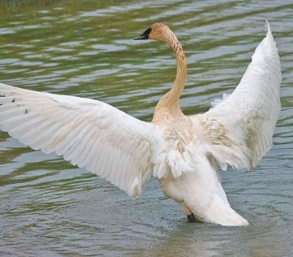 Trumpeter Swan 2021-27