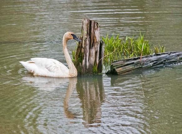 Trumpeter Swan 2021-30