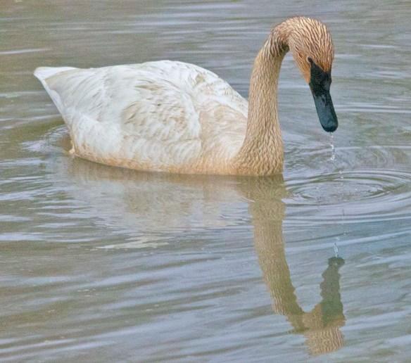Trumpeter Swan 2021-34