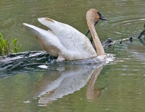 Trumpeter Swan 2021-38