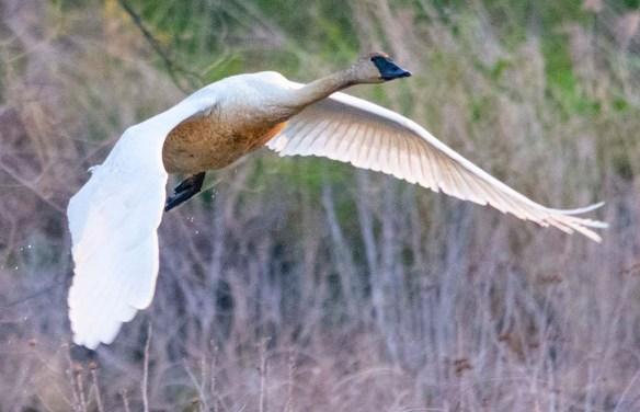 Trumpeter Swan 2021-7