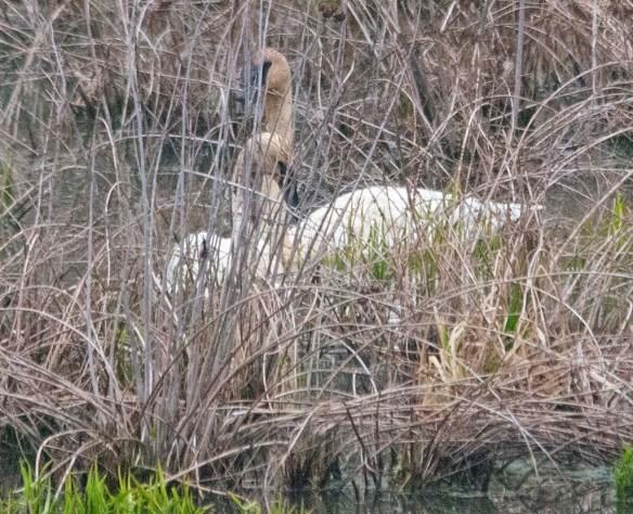 Trumpeter Swan 2021-9