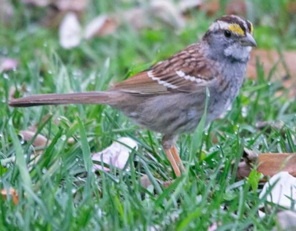 White Throated Sparrow 2021-25jpg