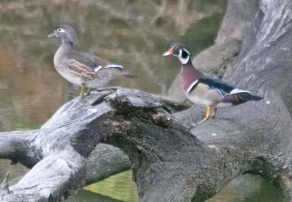 Wood Duck 2021-50