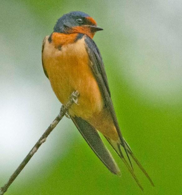 Barn Swallow 2021-3