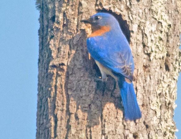 Eastern Bluebird 2020-34