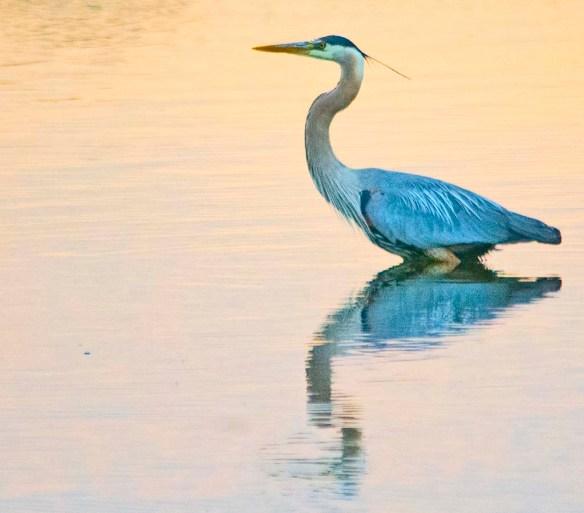 Great Blue Heron 2021-73