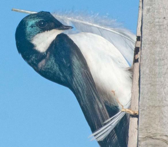 Tree Swallow 2021-17