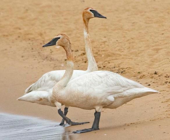 Trumpeter Swan 2021-19