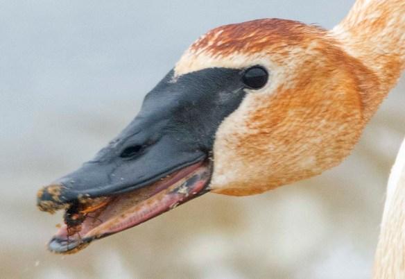 Trumpeter Swan 2021-80