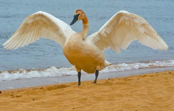 Trumpeter Swan 2021-82
