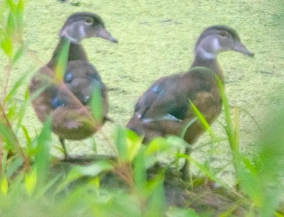 Wood Duck 2021-177