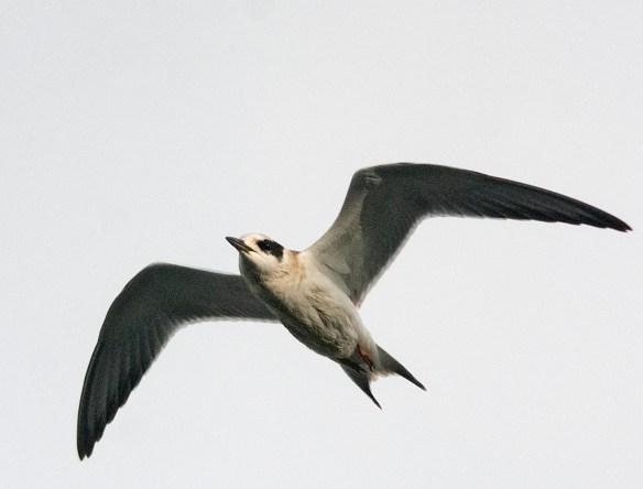Forster's Tern 2021-22