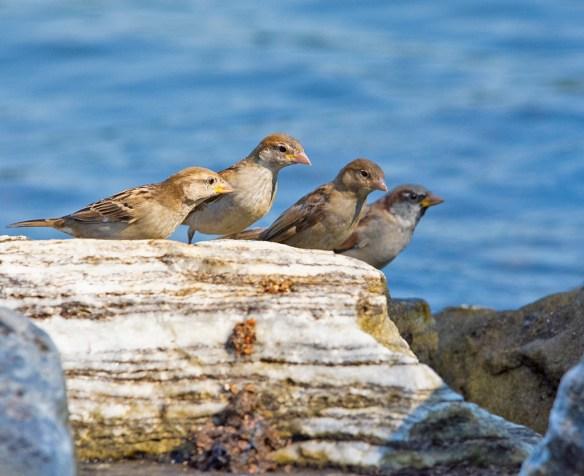 House Sparrow 2021-11
