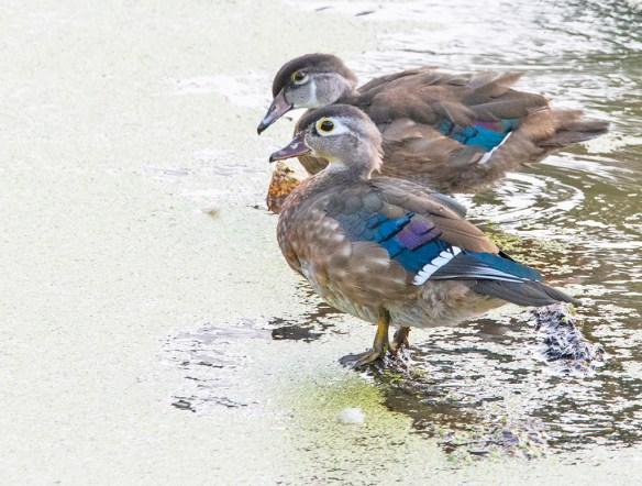 Wood Duck 2021-224