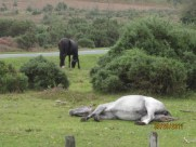 ...horses nap lying down? who knew...