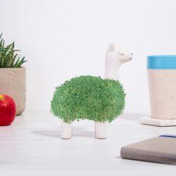 Un lama à faire pousser dans sa maison, avec des graines de chia