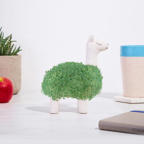lama-a-faire-pousser-plante-maison