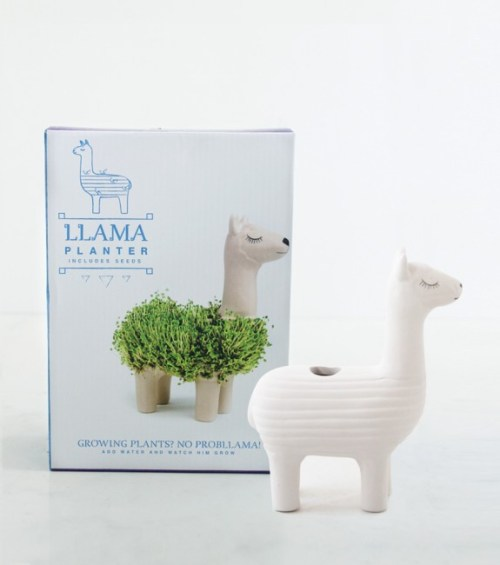 lama-a-faire-pousser-plante-maison-simple