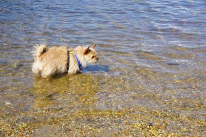 Small brown dog in water