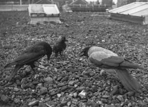 Three stuffed animals on a rooftop, Hugh's first award winning photo. Amalia van Solmsstraat 116. ~1940