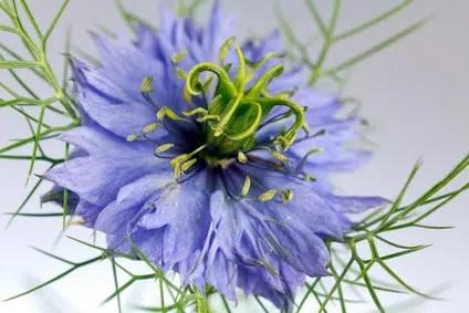 fleur-de-nigelle-1