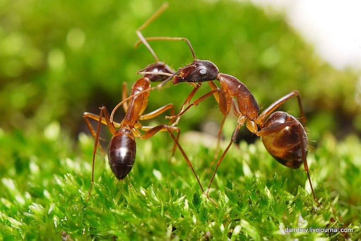 Как муравьи находят дорогу к муравейнику