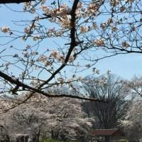 花見2017-2