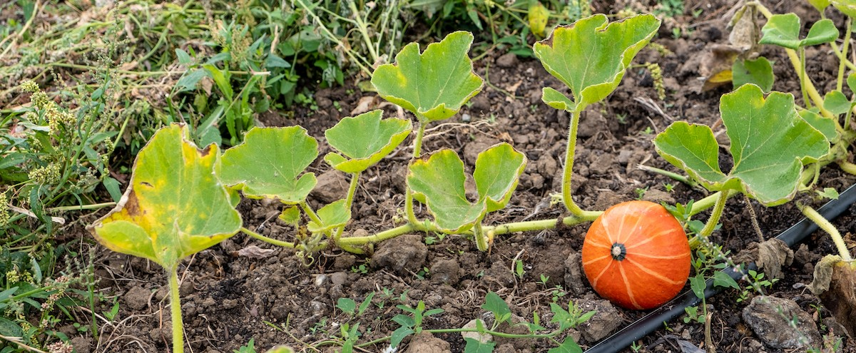 Photo shpwing a small orange pumpkin growing in a small patch