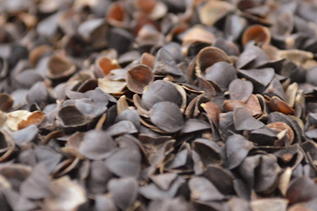 Buckwheat Hulls for Pillows  10 or 20 lb Bags  Free