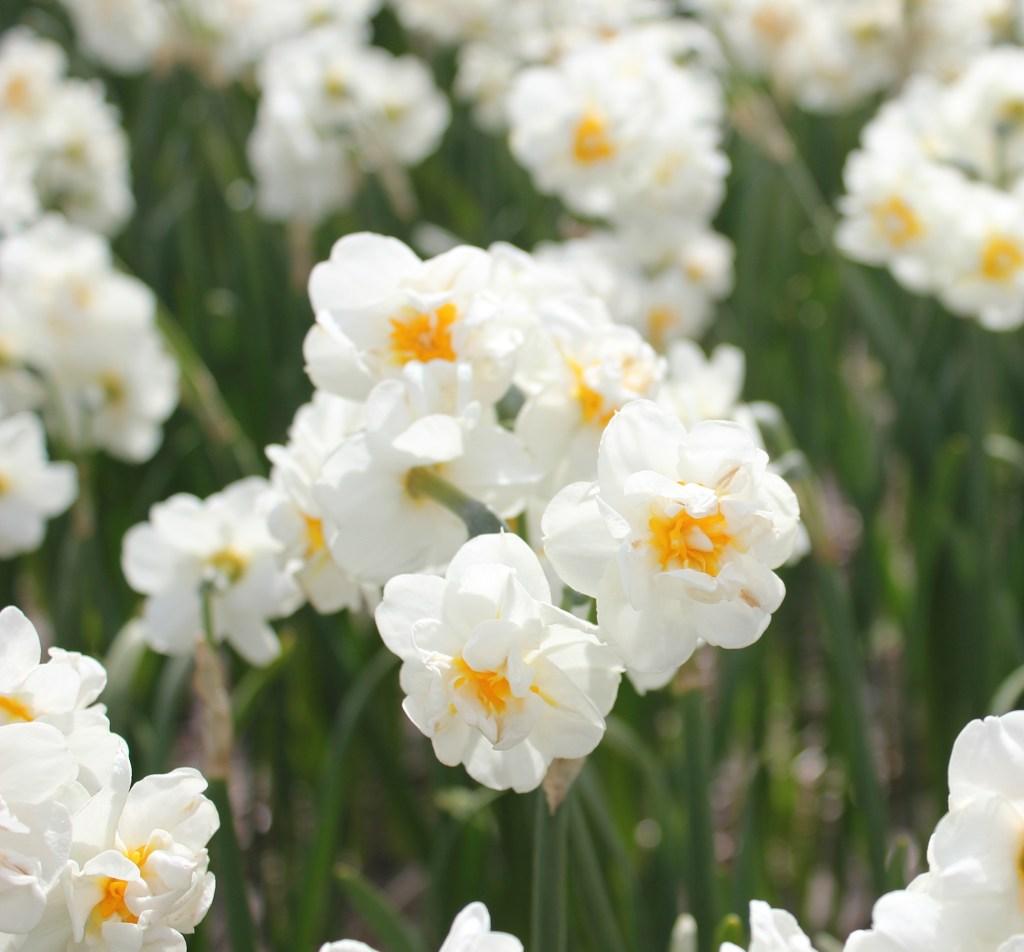 Hulsebosch daffodils tête-à-tête