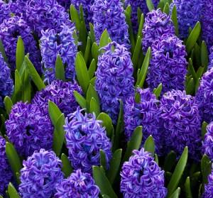 Purple Hyacinths Hulsebosch