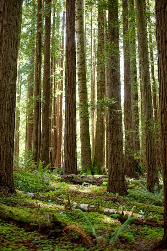 Redwood Forest Eureka California Hulsephoto