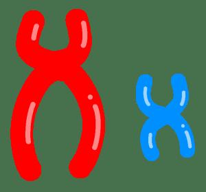 X染色体の不活性化