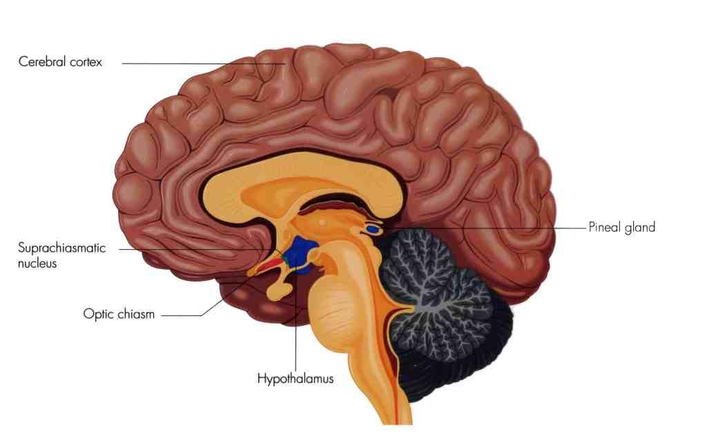 Diencephalon   Function, Facts, Position, Development ...