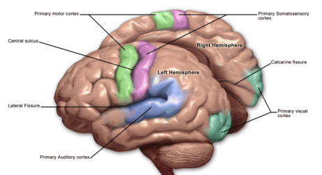Left and Right Hemisphere of the Brain | Functions ...