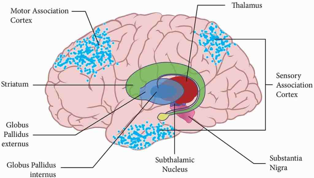 Thalamus   Anatomy, Location, Structure, Function & Physiology