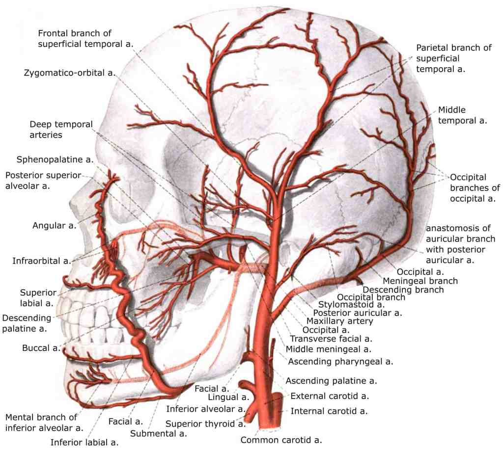 Brain Blood Supply Position Structure Function Summary
