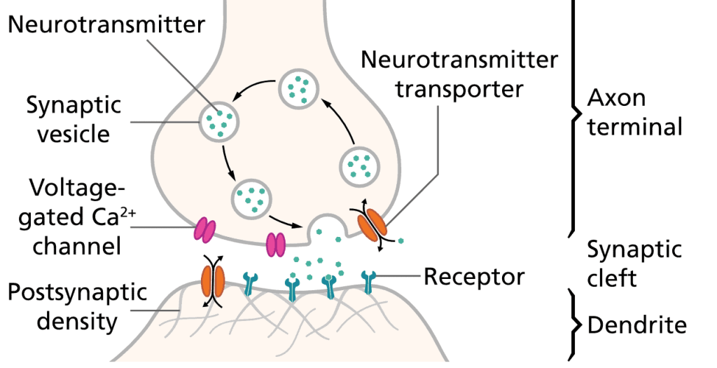 Neurotransmitters In The Brain And Their Functions