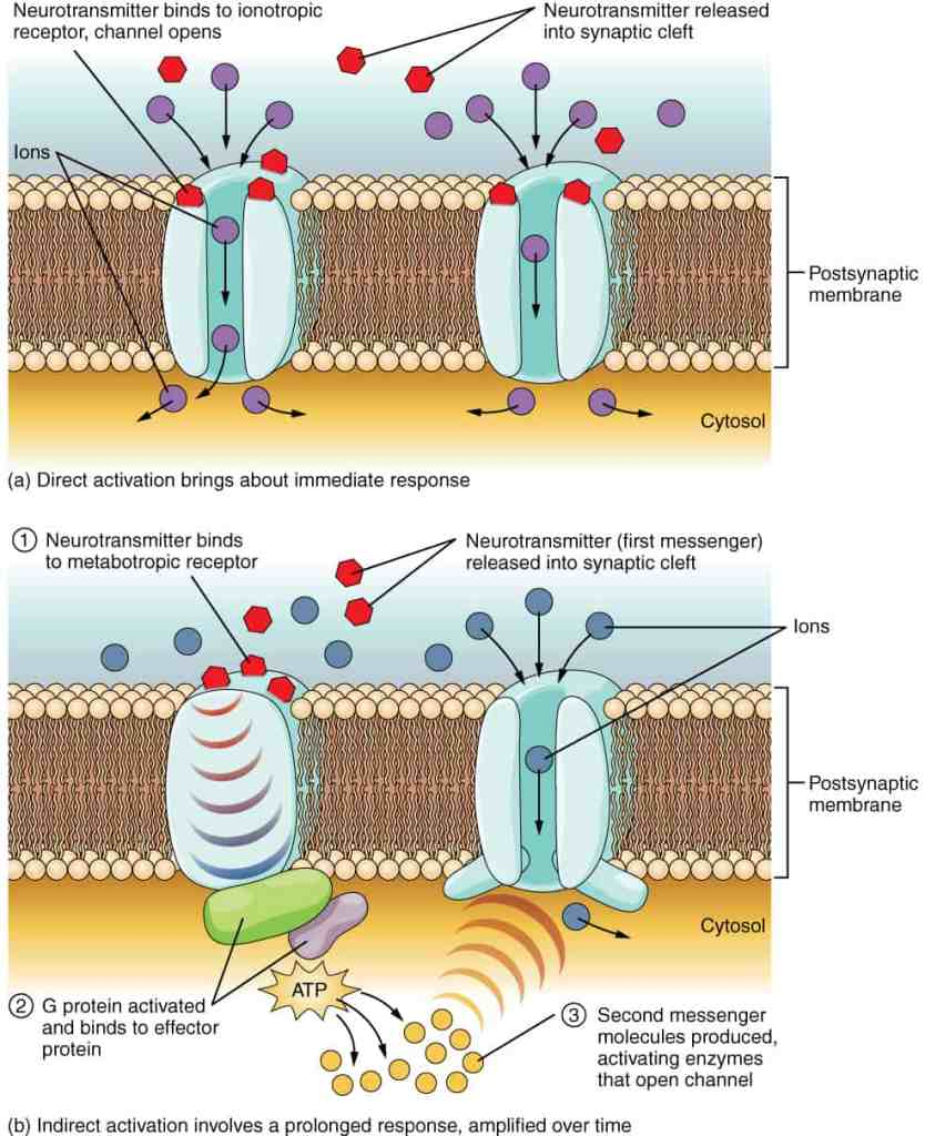 nmda receptor location in body