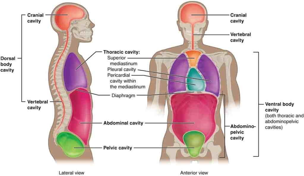 Anatomical Planes Of Body
