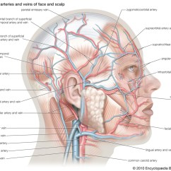 Diagram Nodes Lymphatic System Wiring House To Shed Superficial Arterties And Veins Of Face Scalp | Human Anatomy Structure Living Things